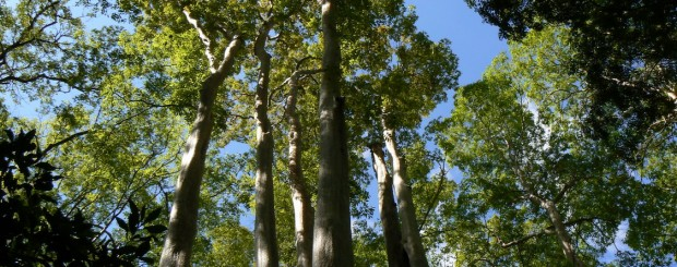 Lagerstroemia forest - CatTien national park