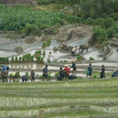 Hmong people planting rice - Sapa